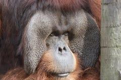 Орангутан стоковая фотография