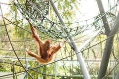Орангутан стоковое изображение rf