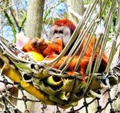 Орангутан Стоковые Фото