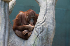 Орангутан Стоковые Изображения