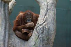Орангутан Стоковое фото RF