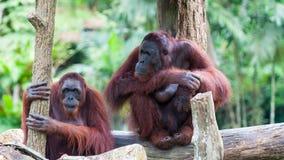 Орангутан Borean Стоковое Изображение RF
