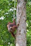 Орангутан Bornean на дереве Стоковое Изображение