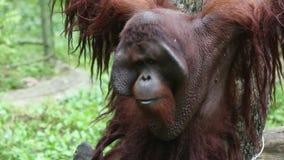 Орангутан Bornean, pygmaeus Pongo, выражение счастливое сток-видео