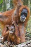 Орангутан, Bukit Lawang, Суматра, Индонезия Стоковые Изображения RF