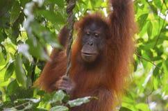 Орангутан, Bukit Lawang, Суматра, Индонезия Стоковая Фотография