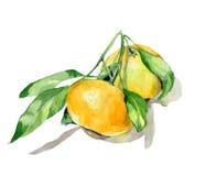 Оранжевая акварель плодоовощ стоковое изображение rf