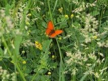 Оранжевая бабочка в зеленом луге весны Медная бабочка стоковая фотография