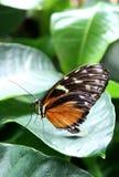 Оранжевая бабочка почтальона на лист стоковое изображение rf
