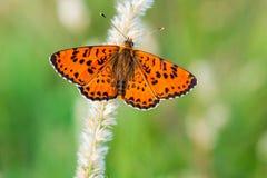 Оранжевая бабочка с открытыми крылами стоковое изображение rf