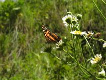 Оранжевая бабочка с чернотой поверх цветков стоковое изображение rf