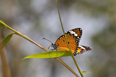 Оранжевая бабочка Стоковое фото RF