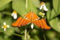 Оранжевая бабочка swallowtail тигра Стоковые Изображения RF