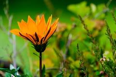 Оранжевая деталь цветка Стоковое Изображение