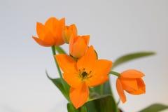 Оранжевая звезда цветка Вифлеема, Ornithogalum Стоковая Фотография RF