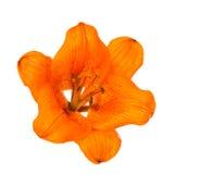 Оранжевая изолированная лилия Стоковые Изображения RF