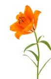 Оранжевая изолированная лилия Стоковое Изображение RF