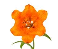 Оранжевая изолированная лилия Стоковое фото RF