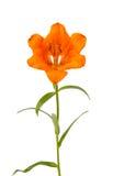 Оранжевая изолированная лилия Стоковые Фотографии RF