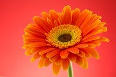 Оранжевая изолированная студия макроса цветка gerbera Стоковое Изображение