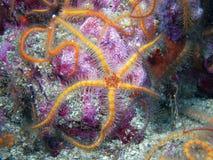 Оранжевая и желтая колючая хрупкая звезда Стоковое Изображение