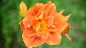 Оранжевая лилия в конце-вверх flowerbed сток-видео