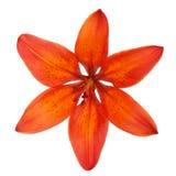 Оранжевая лилия изолированная на белой предпосылке Стоковые Фотографии RF
