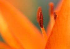 Оранжевая лилия - макрос Стоковые Изображения RF