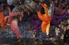 Оранжевая и фиолетовая смертная казнь через повешение морских звёзд от гигантских мидий в коричневеть проход во время отлива Стоковые Изображения RF