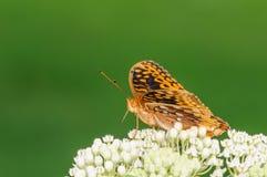 Оранжевая и черная бабочка на белом цветке Стоковые Изображения RF