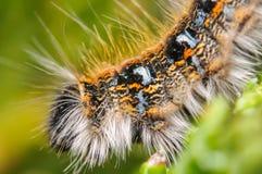 Оранжевая и черная гусеница Стоковое Фото