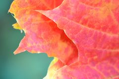 Оранжевая концепция крупного плана кленового листа стоковые фотографии rf