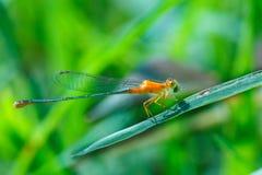 Оранжевая красотка, красотка, насекомые Стоковое фото RF