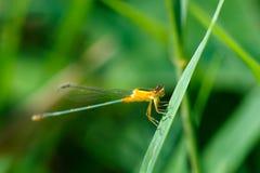 Оранжевая красотка, красотка, насекомые Стоковое Фото