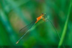 Оранжевая красотка, красотка, насекомые Стоковая Фотография RF