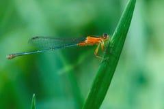 Оранжевая красотка, красотка, насекомые Стоковые Изображения RF