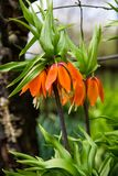 Оранжевая лилия кроны имперская цветет imperialis fritiallaria в саде стоковая фотография rf