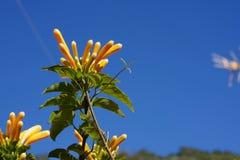 Оранжевая лоза трубы перед голубым небом и ладонью Стоковые Изображения RF
