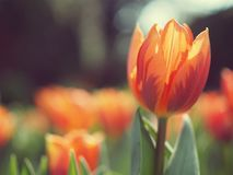 Оранжевая мания тюльпанов Стоковая Фотография RF