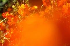 Оранжевая маргаритка на оранжевом переднем плане стоковое фото