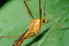Оранжевая муха крана на зеленой предпосылке Стоковые Фотографии RF