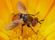 Оранжевая муха. Стоковая Фотография RF