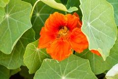 Оранжевая настурция зацветает peeking вне изнутри листьев Стоковые Фотографии RF
