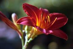 Оранжевая дн-лилия Стоковое Изображение