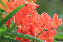 Оранжевая орхидея выходит зеленый цвет в природу Азию Стоковое Изображение RF