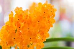 Оранжевая орхидея ascocentrum Стоковое Изображение RF