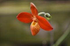 Оранжевая орхидея Phragmipedium Стоковая Фотография