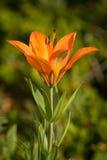 Оранжевая одичалая лилия Стоковое Фото