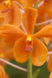 Оранжевая предпосылка свежего цветка орхидеи стоковое изображение rf