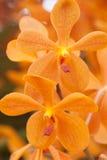 Оранжевая предпосылка свежего цветка орхидеи Стоковые Фото
